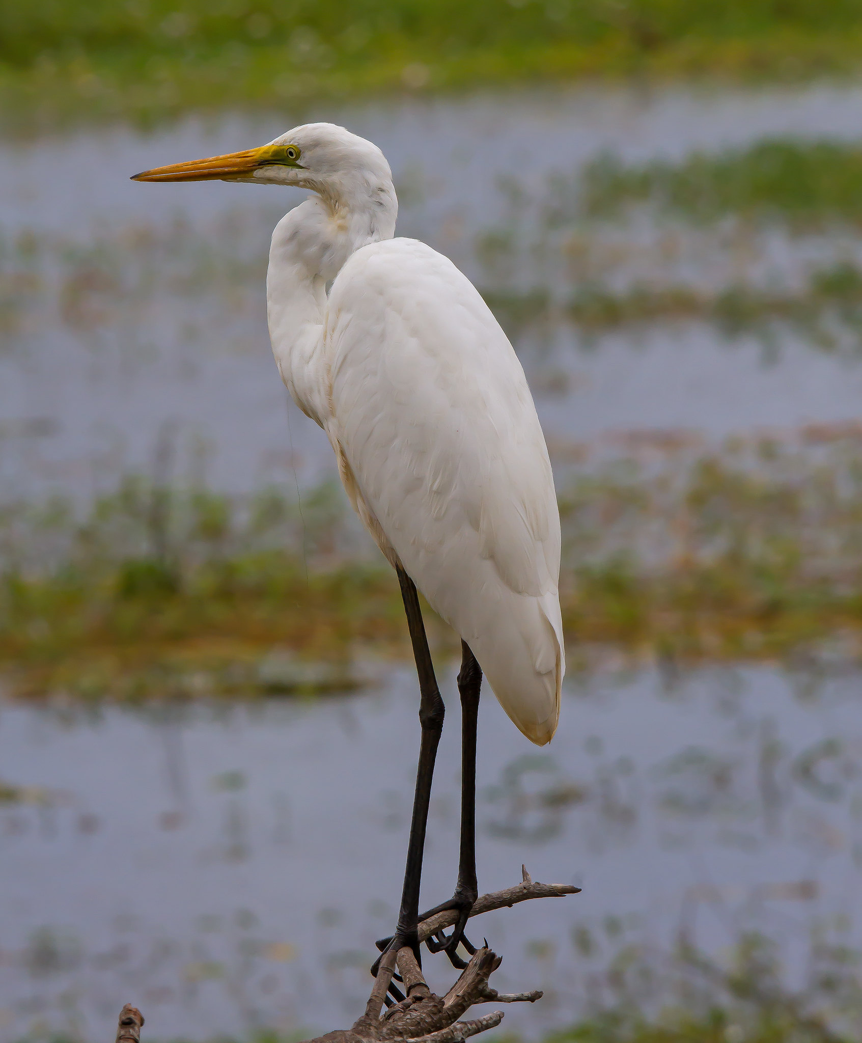 Eastern Great Egret (Ardea modesta (alba)).01