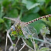 Eastern Ringtail Ind 1 - 1