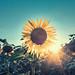 Sunflower by NEOTRINOS
