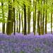 purple carpet (Explored 17-04-2015) by C-Smooth