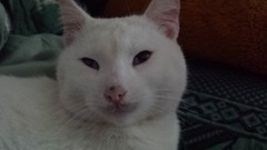 nose, animal, khao manee, small to medium-sized cats, pet, mammal, turkish angora, cat, whiskers,