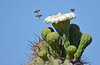 Saguaro Cactus Flower and Bees