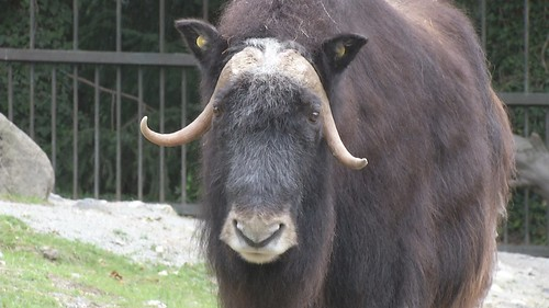 北極特有的冰原動物麝香牛和北極熊,都有生存威脅。