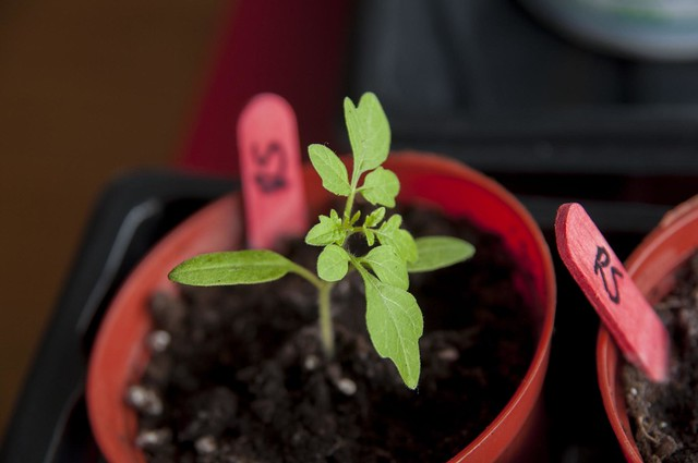 tomatoseeding