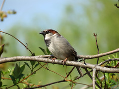 house sparrow pose