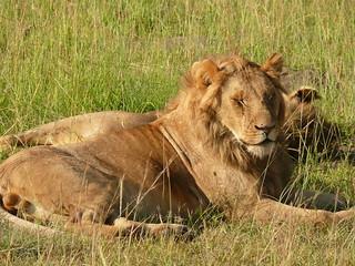 Sleepy head in the Mara !