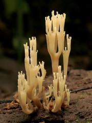 Crown-tipped Coral Mushroom
