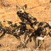 Wild Dogs (Lycaon pictus) in play by Willievs