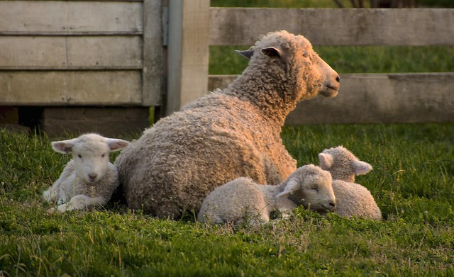 Newborn lambs settling down for the evening, Colonial Williamsburg, Virginia