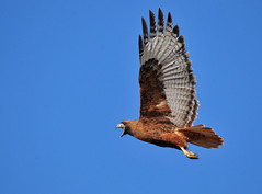 Red-tailed hawks can often be found within city limits. Photo credit: USFWS