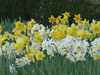 The last of the daffodils