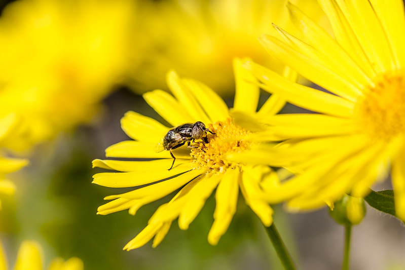 Sand wasp on yellow flower