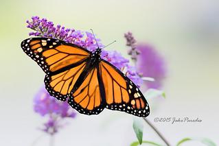 Monarch Butterfly on flower of the Butterfly Bush