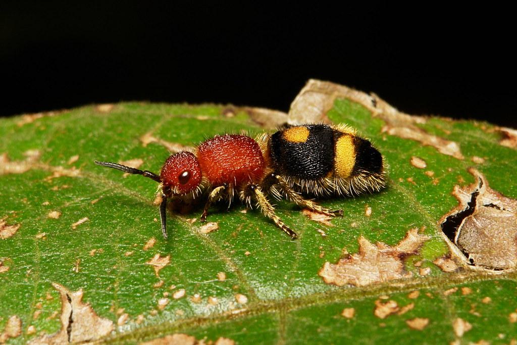Female Velvet Ant (Mutillidae)