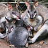 Kangaroo family #animal #ig_captures_animal