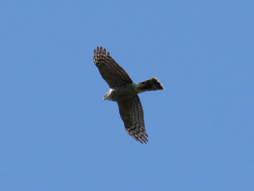 Sparrowhawk Accipiter nisus Tophill Low NR, East Yorkshire April 2015