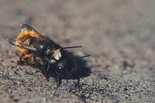 Bienenhochzeit