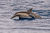 Long-beaked Common Dolphin with Remora, Sea of Cortez by bfryxell