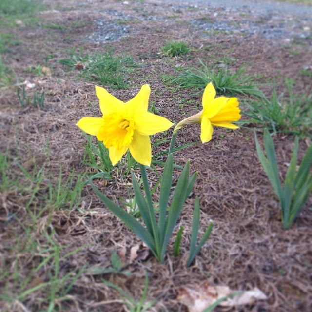 Daffodils started popping open today! It's so yellow it hurts my eyes. 💛😎🌟