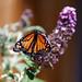 Monarch on Buddleja Butterfly Bush by nosillacast