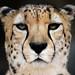 San Diego Zoo: Cheetah