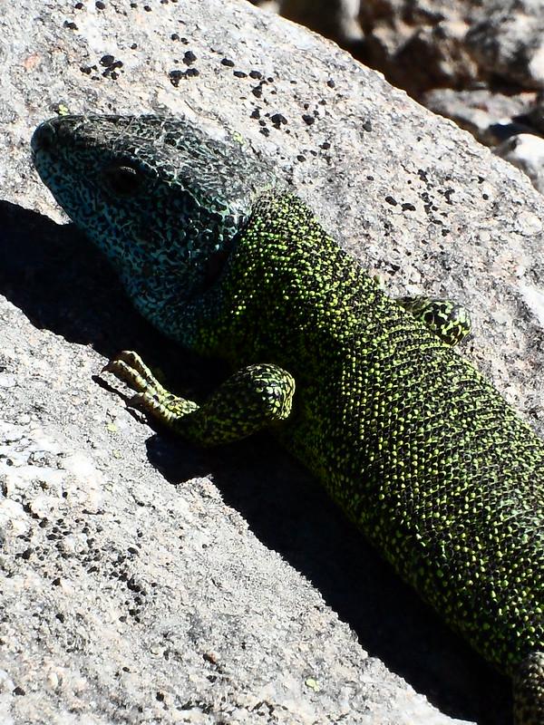 Peñalara. Alpino. Artrópodos, anfibios y reptiles 17743026045_861792edb4_c