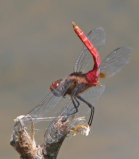 Red-tailed pennant - showing off his tail