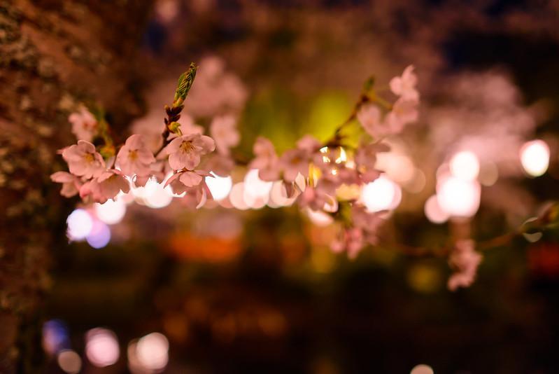 打吹公園 桜-28
