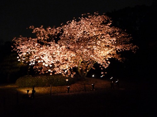 cherry blossom light up