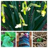 Spring means rain, daffodils, the bright green and red of emerging rhubarb, spinning art yarns, and pea shoots. #garden #spinning #spring #hobbledayfibers #picstitch