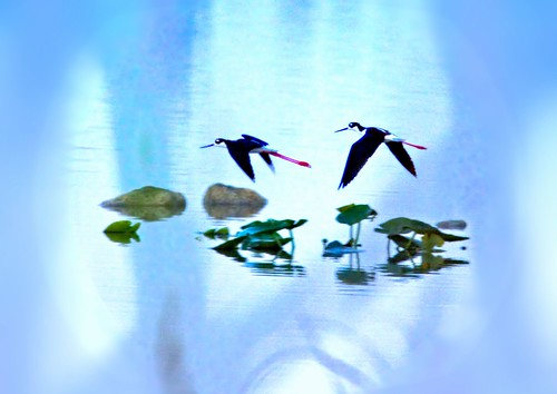 Black-necked Stilts Selective FOCUS 20150320