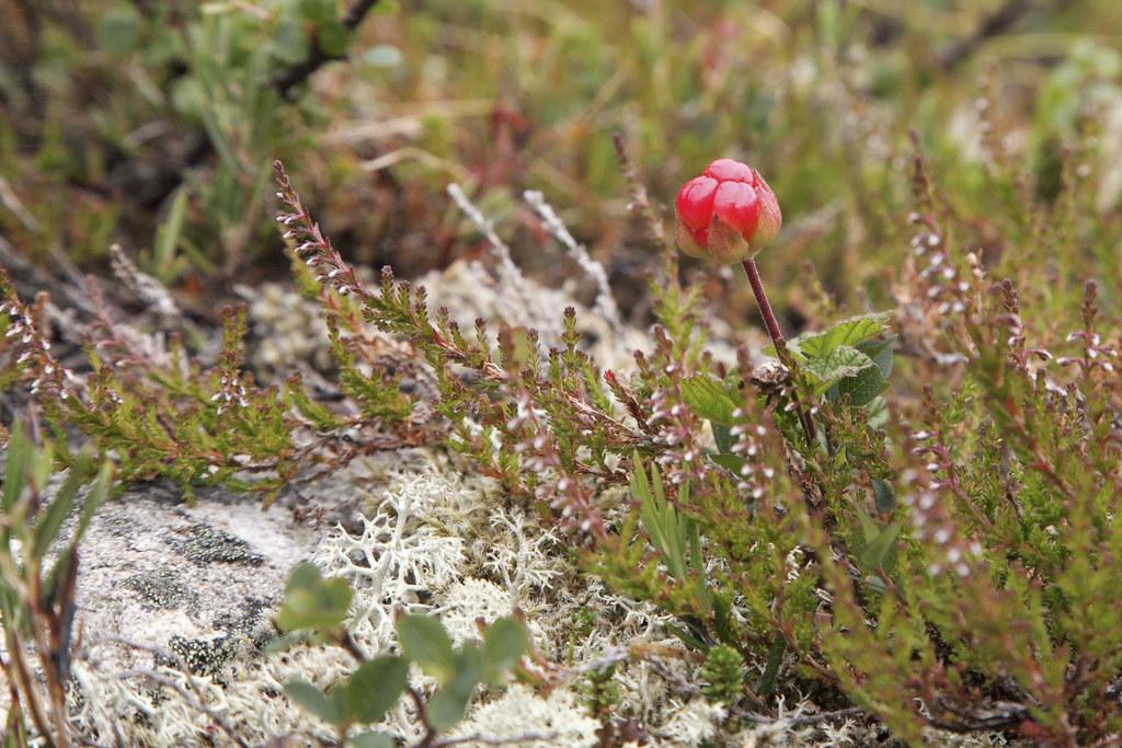 Multebær (Rubus chamaemorus) er en 8-15 cm høj, urteagtig plante, der i Danmark kun vokser i højmoser. Det er en opret, tvebo plante med enlige blomster. Især i Norge, Sverige og Finland nyder bærret stor udbredelse som spisefrugt.