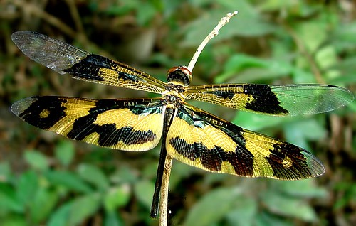 dragonfly commonpicturewing bagnanwbindia