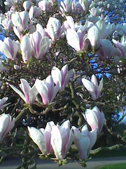 flower, magnolia, flora, petal,