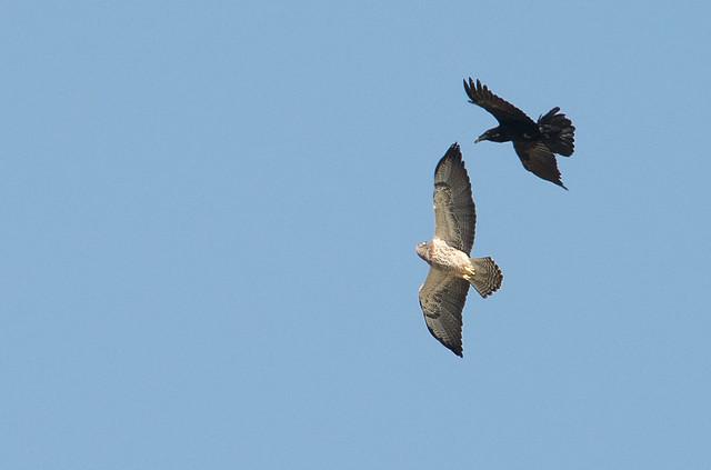 Swainsons Hawk vs Raven Aerial Combat 3