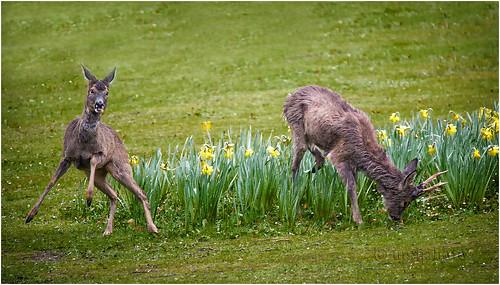 Frisky Roe Deer
