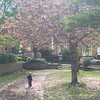 My travelling companion pulls his travelling companion (Uncle Ollie) through a hail of springtime cherry blossoms.