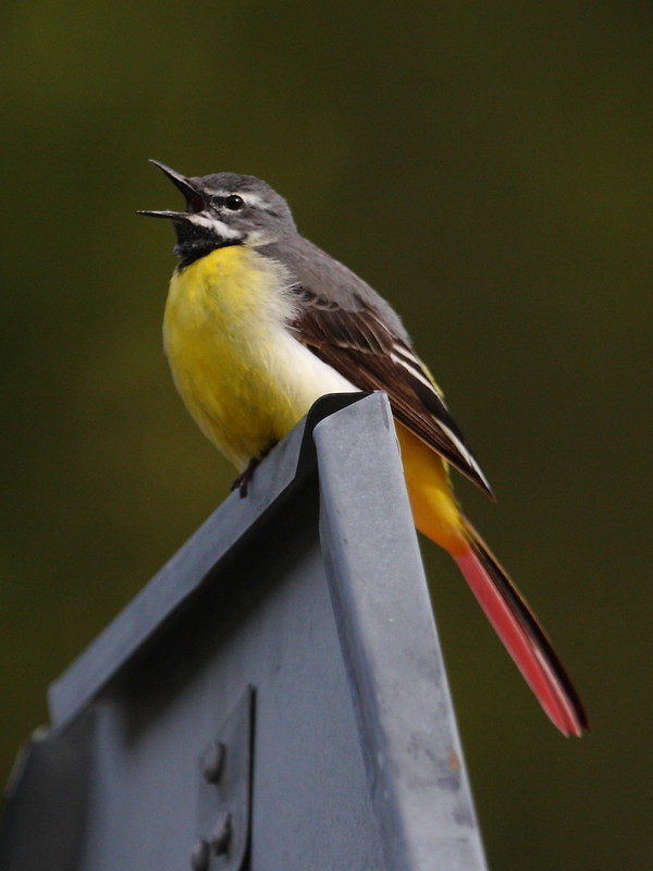 Grey wagtail sitting on the road sign