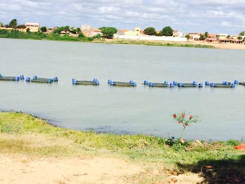 Pescadores artesanais beneficiados pela Codevasf fazem primeira despesca de tilápia em Ibó, no sertão pernambucano