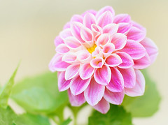 Pink and White Dahlia close up