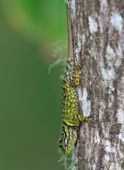 Phrynosomatidae