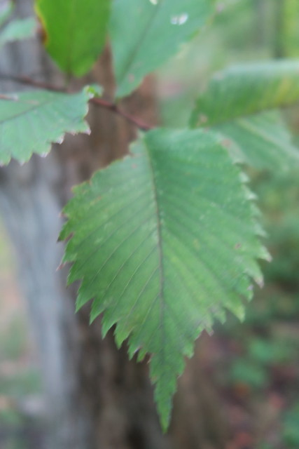 Header of Ulmus rubra