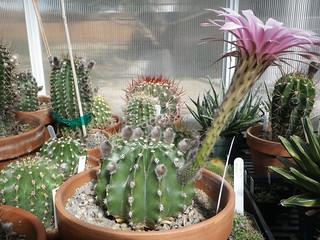 "Echinopsis hybrid ""Hans Sachs"""
