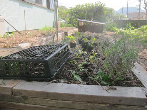 水菜、ラベンダー、ネギ、パクチーを植えたガーデンベッド