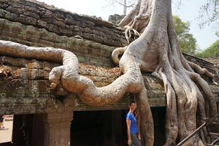 Massive tree roots
