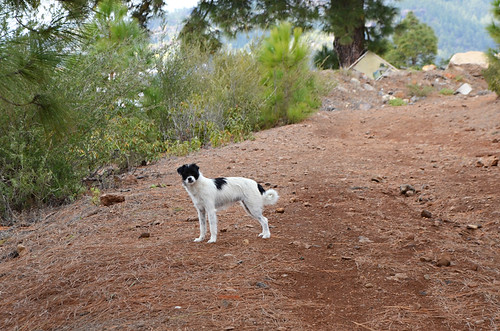 Dog guide, Vilaflor, Tenerife