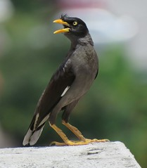 brambling(0.0), wildlife(0.0), animal(1.0), fauna(1.0), finch(1.0), common myna(1.0), close-up(1.0), beak(1.0), bird(1.0),