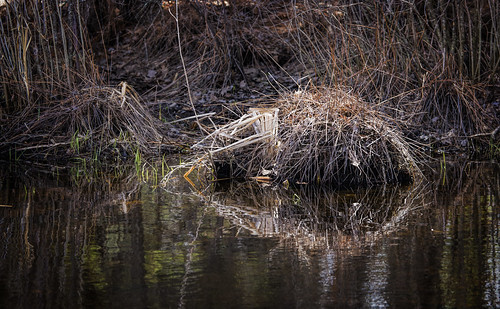 pond londonderry muskrat macksapples londonderrynewhampshire