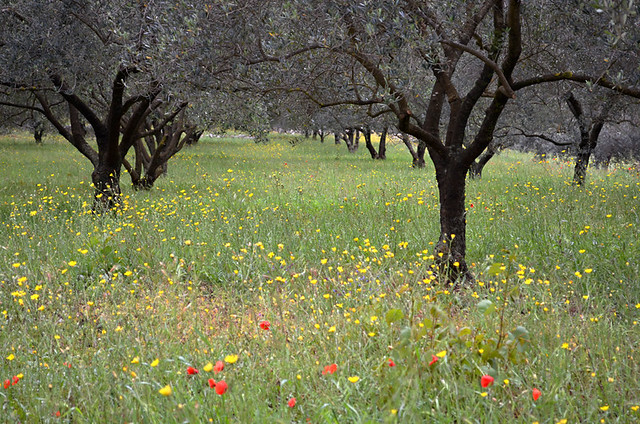 Wild flowers and olive trees, Korcula, Croatia