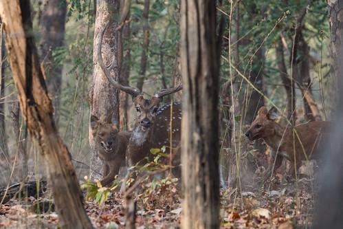 Indian Wild Dog killing Axis deer